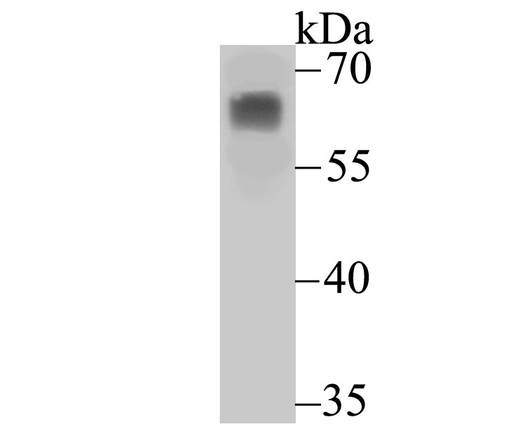 Western blot analysis of PHF10 on Hela cell lysate using anti-PHF10 antibody at 1/1,000 dilution.