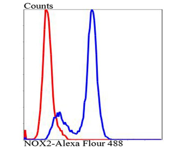 Flow cytometric analysis of Hela cells with NOX2/gp91phox antibody at 1/100 dilution (blue) compared with an unlabelled control (cells without incubation with primary antibody; red). Alexa Fluor 488-conjugated goat anti-rabbit IgG was used as the secondary antibody.