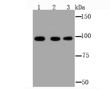 Western blot analysis of GRP94 on different cell lysate using anti-GRP94 antibody at 1/1,000 dilution.<br />  Positive control:<br />  Lane 1: HepG2 <br />  Lane 2: NIH-3T3<br />  Lane 3: PC-12<br />