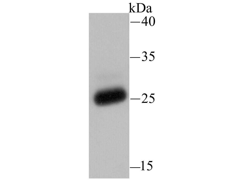 Western blot analysis of PRTN3 on U937 using anti-PRTN3 antibody at 1/500 dilution.