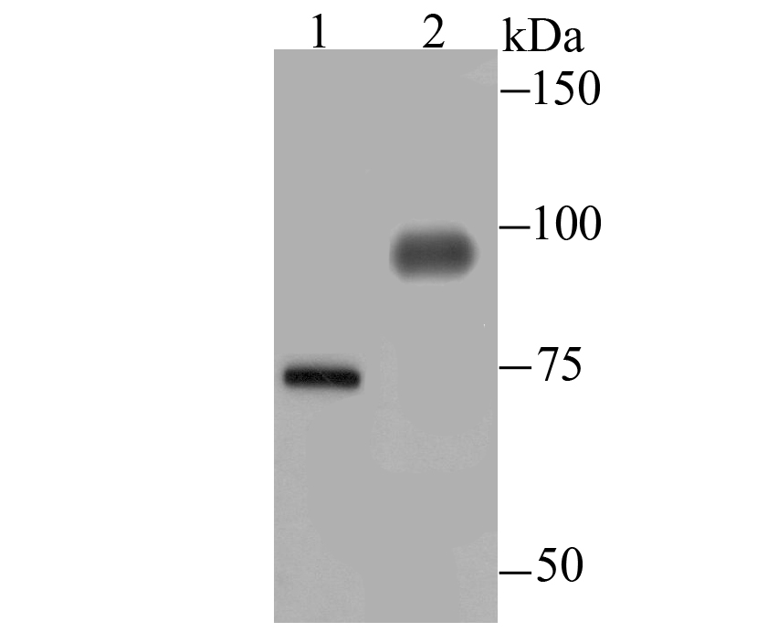 Western blot analysis of DLL4 on mouse placenta tissue (1) and HUVEC (2) lysate using anti-DLL4 antibody at 1/500 dilution.