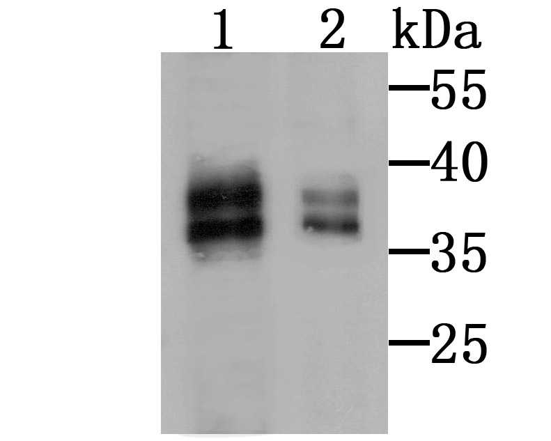 Western blot analysis of MSI2 on SW480 (1) and K562 (2) cell lysate using anti-MSI2 antibody at 1/500 dilution.