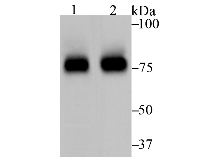 Western blot analysis of FOXO3A on different cell lysate using anti-FOXO3A antibody at 1/500 dilution.<br />   Positive control:<br />   Lane 1: SH-SY5Y <br />   Lane 2: K562