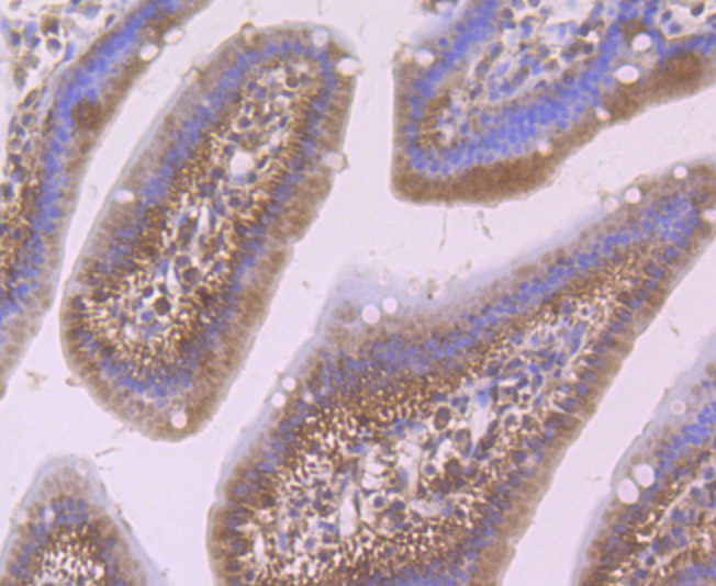 Immunohistochemical analysis of paraffin-embedded mouse small intestine tissue using anti-Smad4 antibody. Counter stained with hematoxylin.