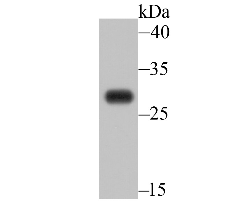 Western blot analysis of EMC10 on A549 cell lysate using anti-EMC10 antibody at 1/500 dilution.