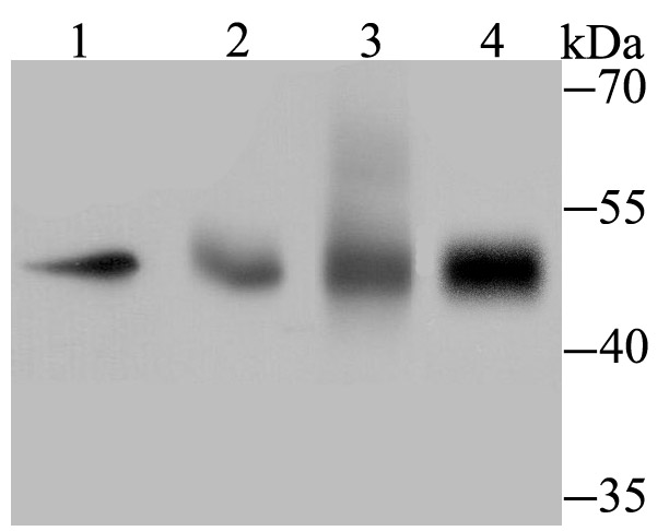Western blot analysis of TEAD4 on different lysates using anti-TEAD4 antibody at 1/500 dilution.<br />  Positive control:<br />  Lane 1: Hela <br />  Lane 2: Human lung tissue<br />  Lane 3: Human placenta tissue <br />  Lane 4: HepG2 <br />