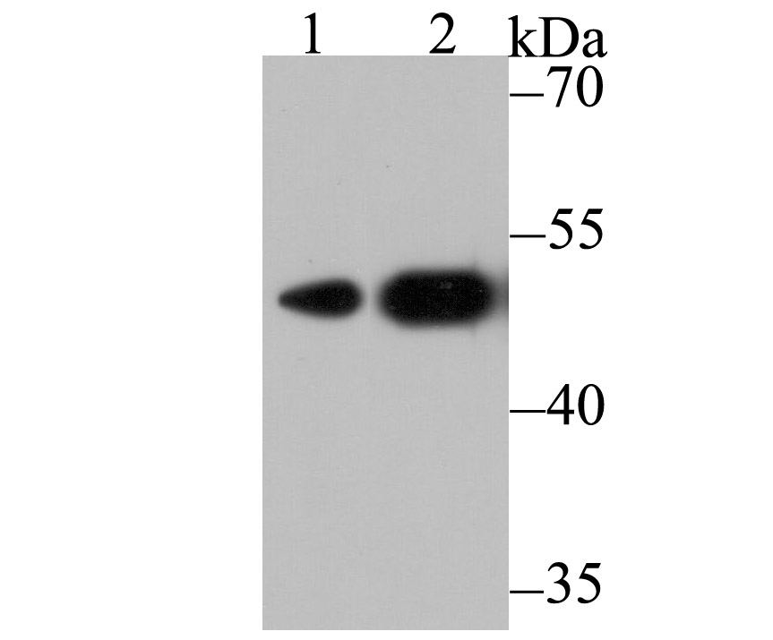 Western blot analysis of CXCR4 on different cell lysates using anti-CXCR4 antibody at 1/500 dilution.<br />  Positive control:<br />  Lane 1: 293 <br />  Lane 2: K562<br />