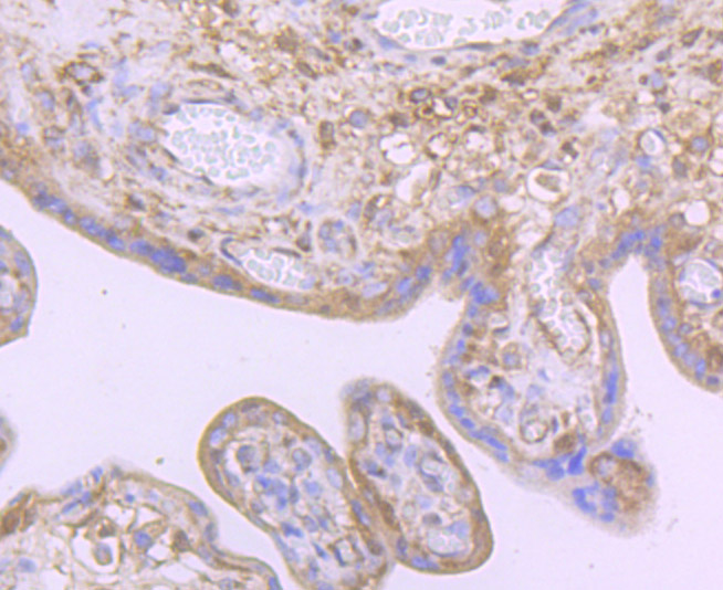 Immunohistochemical analysis of paraffin-embedded human placenta tissue using anti-Noggin antibody. Counter stained with hematoxylin.
