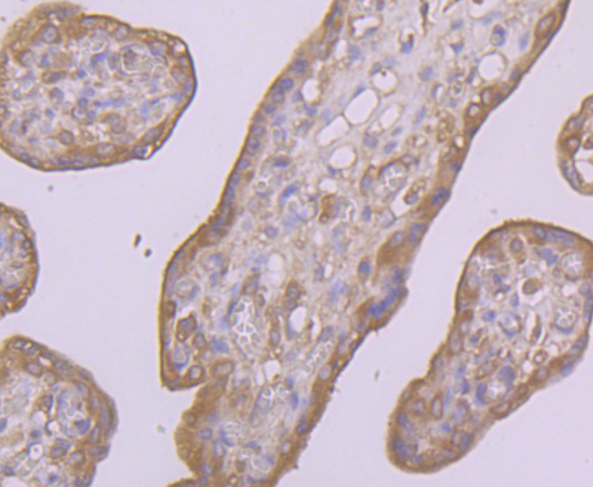 Immunohistochemical analysis of paraffin-embedded human placenta tissue using anti-CD55 antibody. Counter stained with hematoxylin.