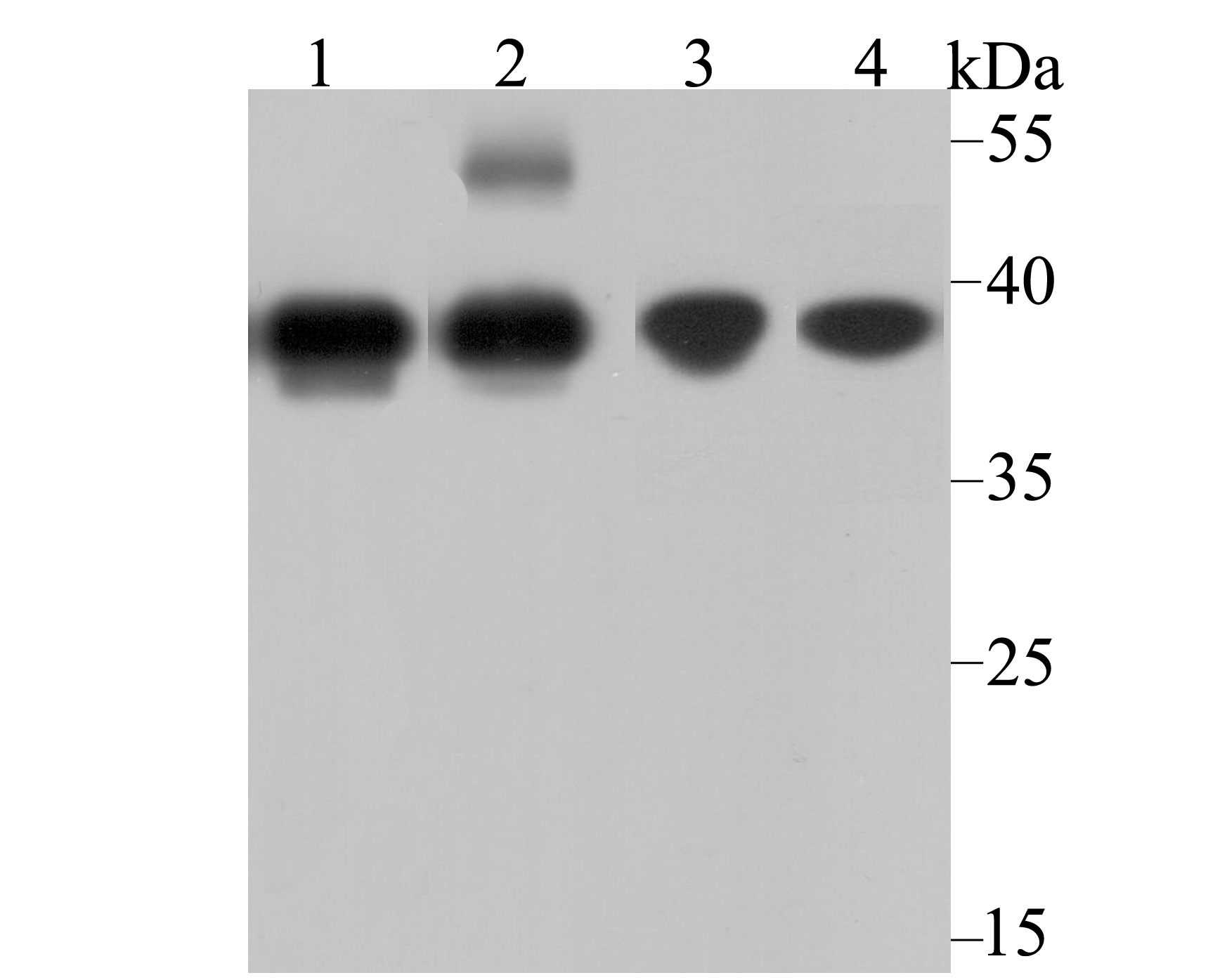 Western blot analysis of APE1 on different lysates using anti-APE1 antibody at 1/1,000 dilution.<br />   Positive control:<br />   Lane 1: HL-60 <br />   Lane 2: Human skin tissue <br />   Lane 3: MCF-7 <br />   Lane 4: Mouse placenta tissue