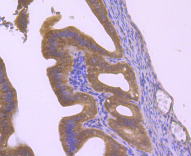 Immunohistochemical analysis of paraffin-embedded mouse fallopian tubes tissue using anti-Hip1 antibody. Counter stained with hematoxylin.