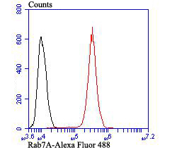 Flow cytometric analysis of A431 cells with RAB7 antibody at 1/100 dilution (red) compared with an unlabelled control (cells without incubation with primary antibody; black). Alexa Fluor 488-conjugated goat anti-rabbit IgG was used as the secondary antibody.