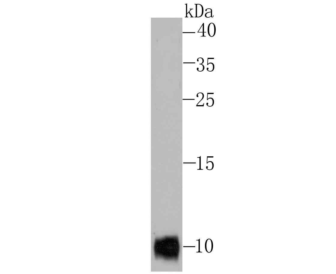Western blot analysis of SDF1 on Hela cell lysate using anti-SDF1 antibody at 1/500 dilution.