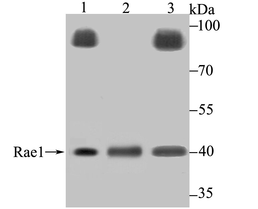 Western blot analysis of Rae1 on different lysates using anti-Rae1 antibody at 1/500 dilution.<br />  Positive control:<br />  Lane 1: PC-3<br />  Lane 2: Mouse testis tissue<br />  Lane 3: Rat testis tissue<br />
