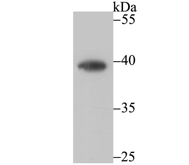 Western blot analysis of CTGF on mouse smooth muscle tissue lysate using anti-CTGF antibody at 1/500 dilution.