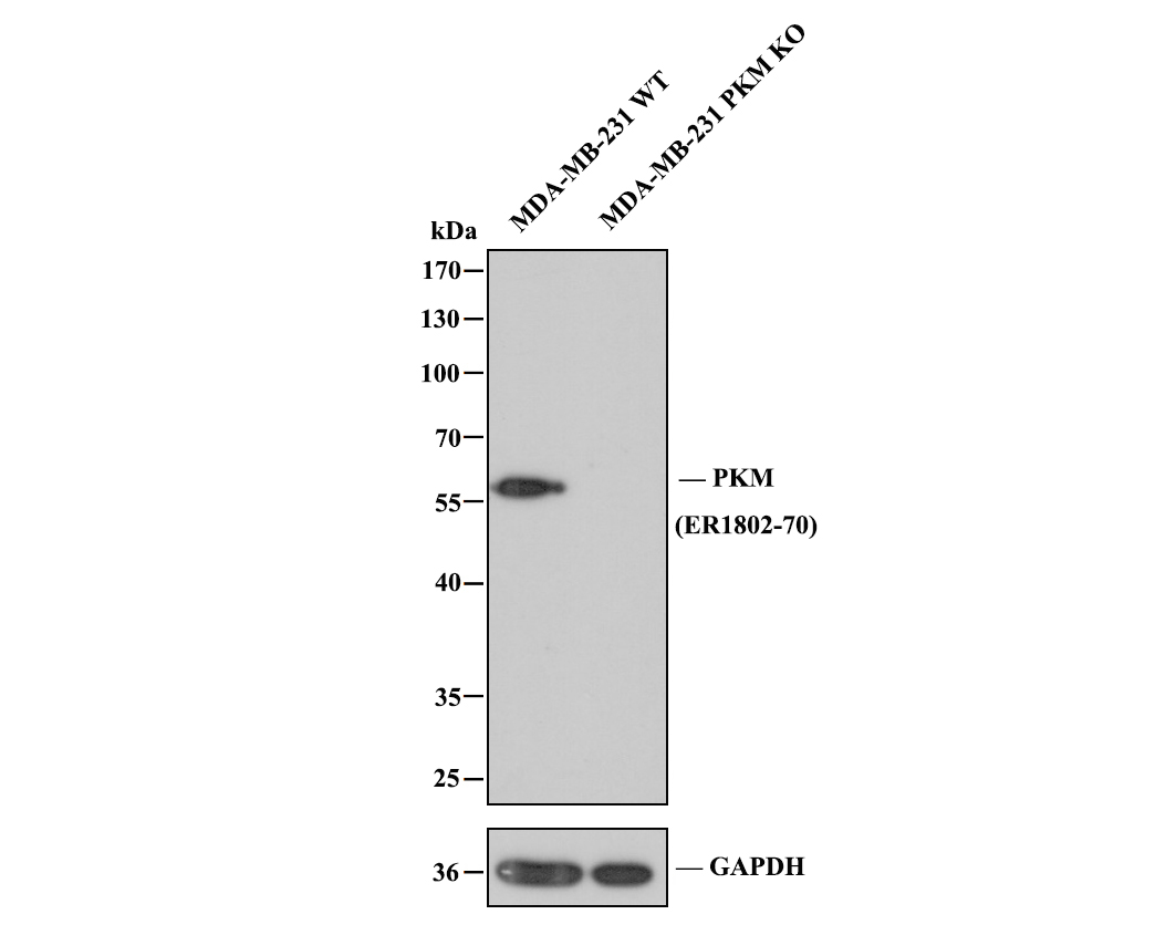 Western blot analysis of PKM2 on 293 cell lysate using anti-PKM2 antibody at 1/500 dilution.