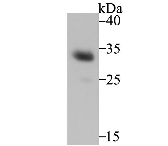 Western blot analysis of Heme Oxygenase 1 (HO-1) on mouse spleen tissue lysate using anti-Heme Oxygenase 1 (HO-1) antibody at 1/500 dilution.