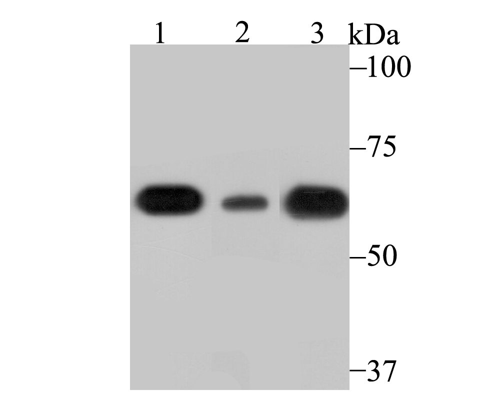 Western blot analysis of SHP1 on different lysates using anti-SHP1 antibody at 1/1,000 dilution.<br />   Positive control:<br />   Lane 1: Mouse spleen tissue<br />   Lane 2: HL-60<br />   Lane 3: Rat spleen tissue