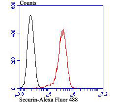 Flow cytometric analysis of PC-3M cells with Securin antibody at 1/100 dilution (red) compared with an unlabelled control (cells without incubation with primary antibody; black). Alexa Fluor 488-conjugated goat anti-rabbit IgG was used as the secondary antibody.