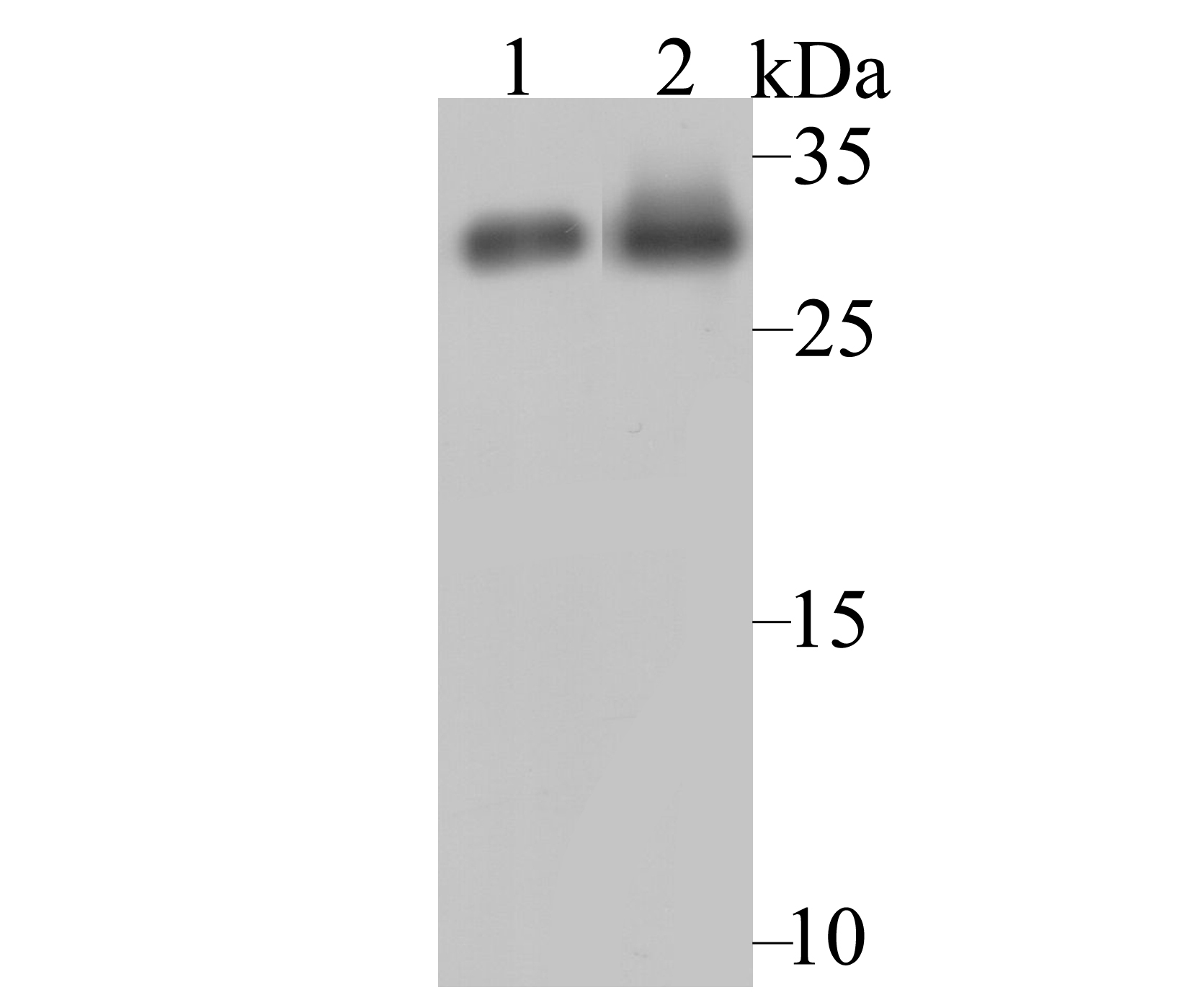 Western blot analysis of NQO1 on different cell lysates using anti-NQO1 antibody at 1/1,000 dilution.<br />  Positive control:<br />  Lane 1: Siha<br />    Lane 2: A549