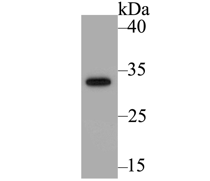 Western blot analysis of sfGFP on fusion protein using anti-sfGFP antibody at 1/1,000 dilution.