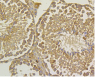 Immunohistochemical analysis of paraffin-embedded mouse testis tissue using anti-UAP1 antibody. Counter stained with hematoxylin.