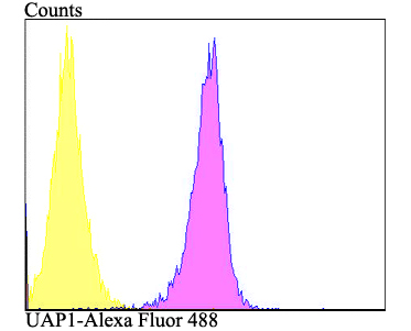 Flow cytometric analysis of K562 cells with UAP1 antibody at 1/100 dilution (purple) compared with an unlabelled control (cells without incubation with primary antibody; yellow). Alexa Fluor 488-conjugated goat anti-rabbit IgG was used as the secondary antibody.
