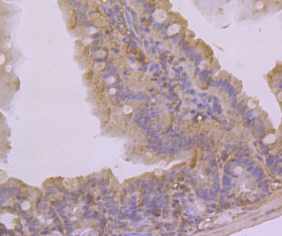 Immunohistochemical analysis of paraffin-embedded mouse colon tissue using anti-K2P4.1 antibody. Counter stained with hematoxylin.