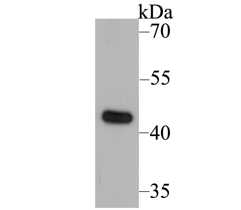 Western blot analysis of UQCRC2 on rat heart tissue lysate using anti-UQCRC2 antibody at 1/5,000 dilution.