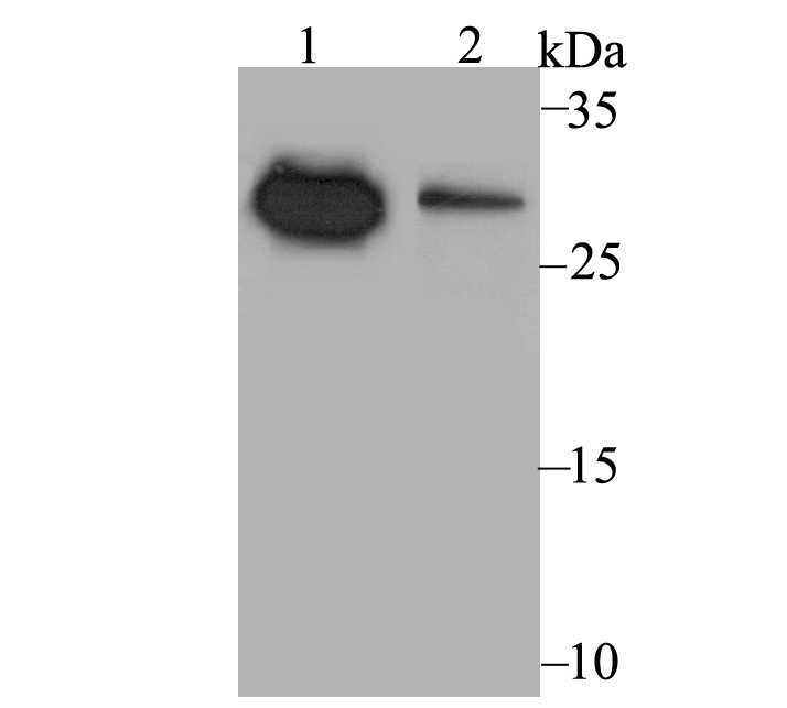 Western blot analysis of NDUFS3 on different cell lysates using anti-NDUFS3 antibody at 1/500 dilution.<br />   Positive control:<br />   Lane 1: LOVO<br />   Lane 2: MCF-7