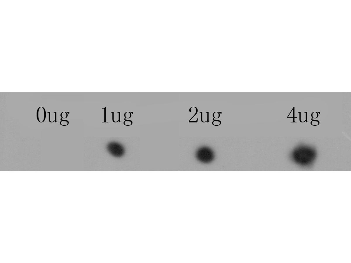 Dot blot analysis of anti-RYR1 immunization peptide on PVDF. 1ug, 2ug and 4ug peptides were given in this test. Anti-RYR1 antibody was diluted with 1/500.