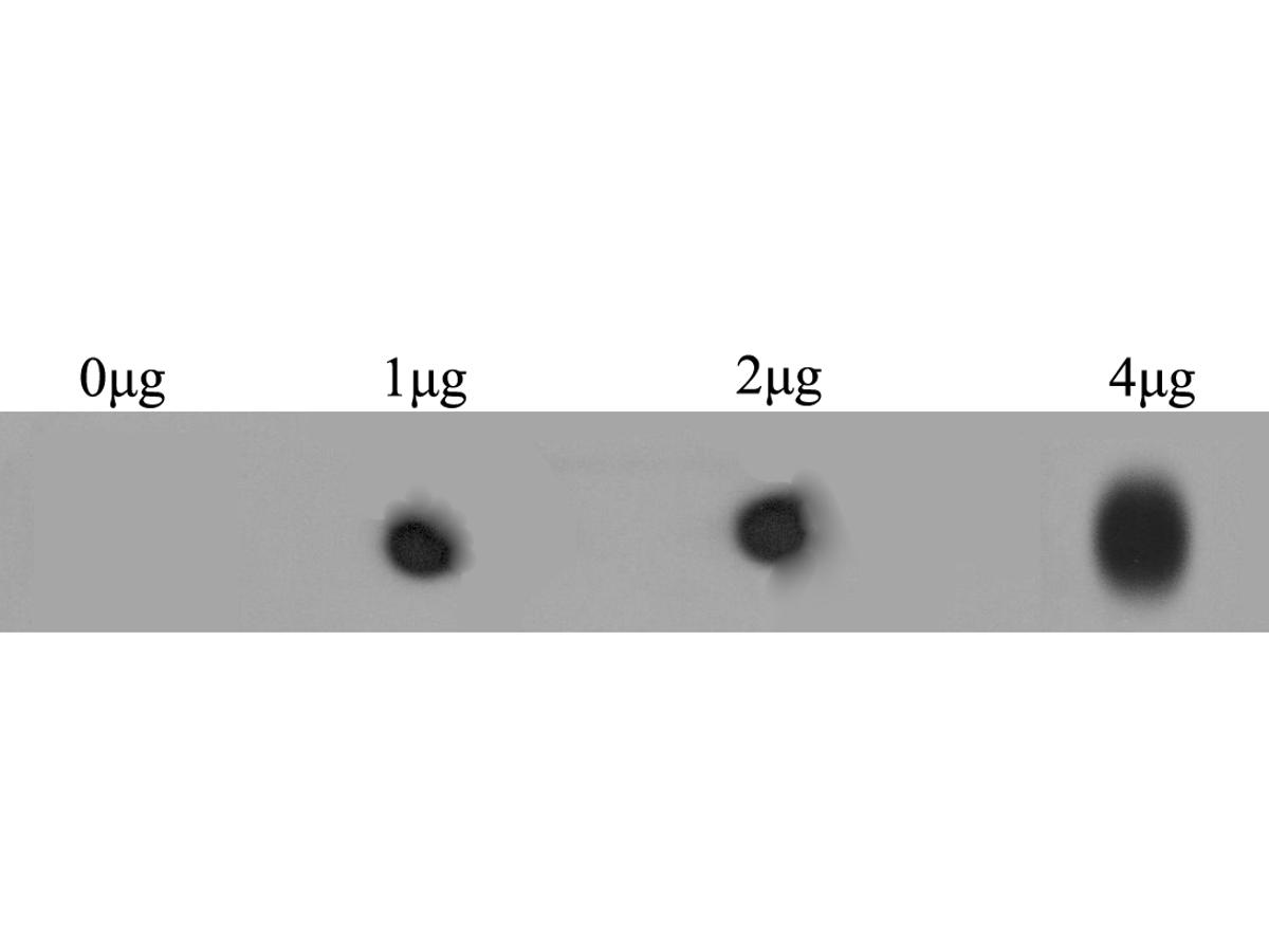 Dot blot analysis of anti-RYR2 immunization peptide on PVDF. 1ug, 2ug and 4ug peptides were given in this test. Anti-RYR2 antibody was diluted with 1/500.