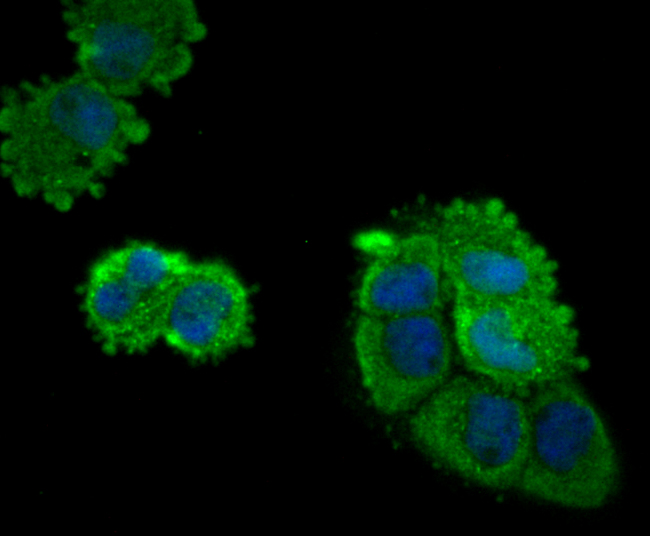 ICC staining Eg5 in A431 cells (green). The nuclear counter stain is DAPI (blue). Cells were fixed in paraformaldehyde, permeabilised with 0.25% Triton X100/PBS.