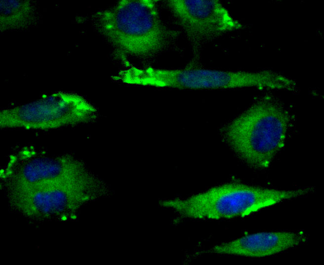 ICC staining Eg5 in SH-SY-5Y cells (green). The nuclear counter stain is DAPI (blue). Cells were fixed in paraformaldehyde, permeabilised with 0.25% Triton X100/PBS.