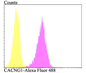 Flow cytometric analysis of SH-SY-5Y cells with CACNG1 antibody at 1/100 dilution (fuchsia) compared with an unlabelled control (cells without incubation with primary antibody; yellow). Alexa Fluor 488-conjugated goat anti-rabbit IgG was used as the secondary antibody.