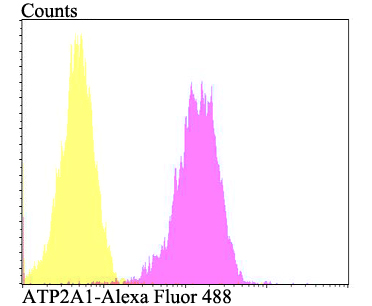 Flow cytometric analysis of 293T cells with ATP2A1 antibody at 1/100 dilution (fuchsia) compared with an unlabelled control (cells without incubation with primary antibody; yellow). Alexa Fluor 488-conjugated goat anti-rabbit IgG was used as the secondary antibody.