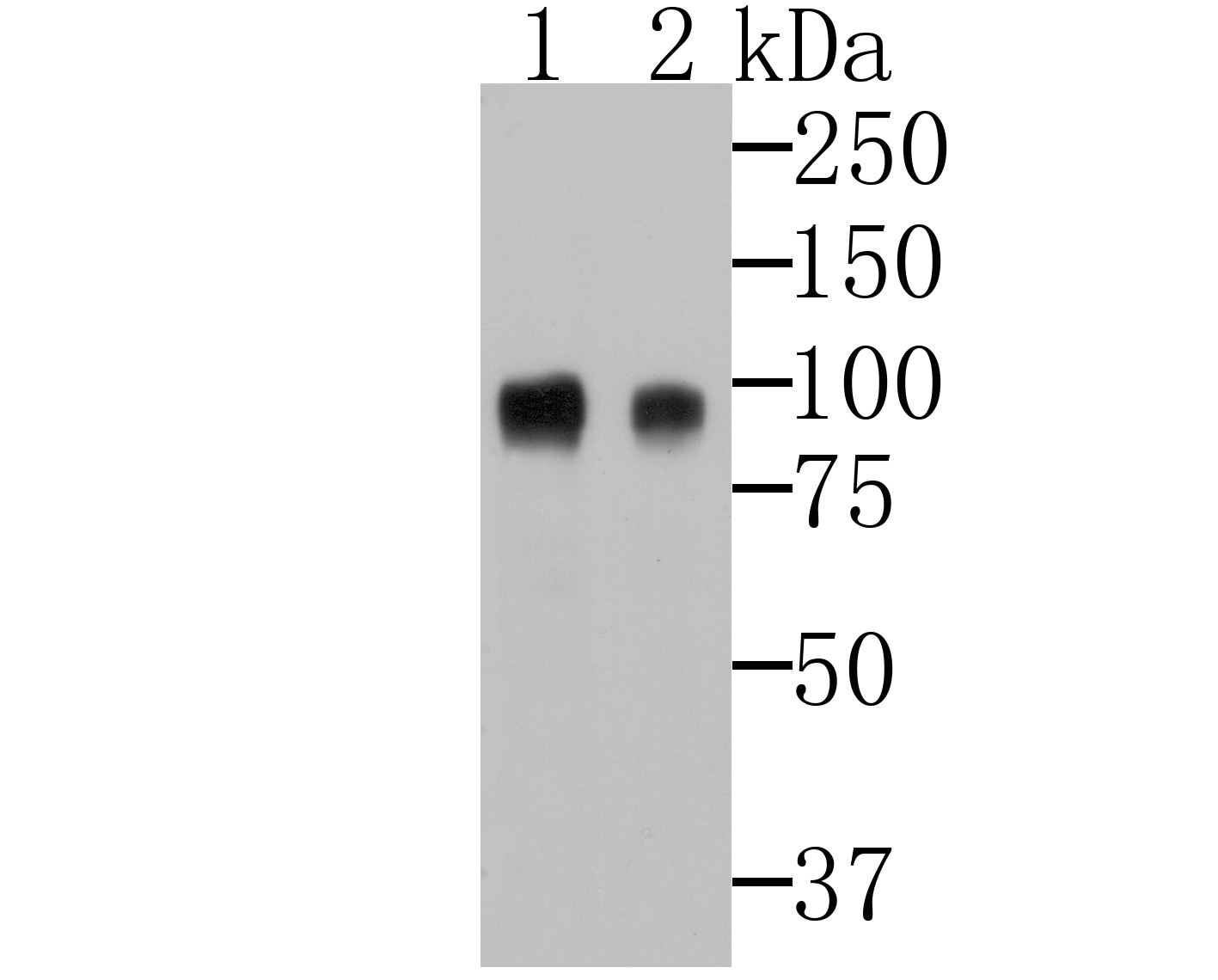 Western blot analysis of CD276 on 293 and 293T cell lysates using anti-CD276 antibody at 1/500 dilution.