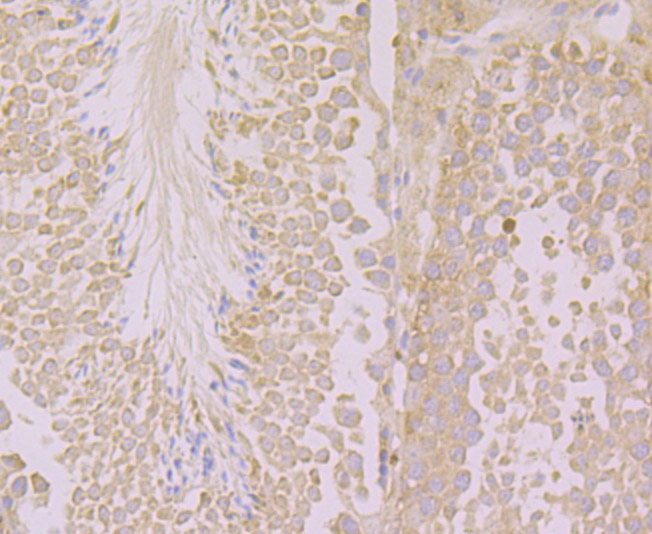 Immunohistochemical analysis of paraffin-embedded mouse testis tissue using anti-KIF3A antibody. Counter stained with hematoxylin.