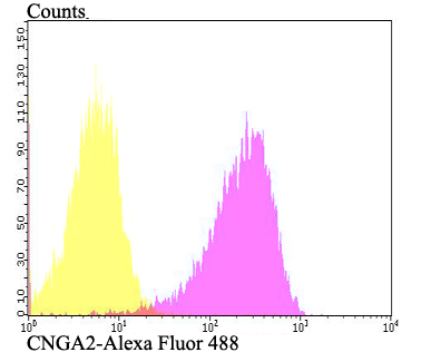 Flow cytometric analysis of PANC-1 cells with CNGA2 antibody at 1/100 dilution (fuchsia) compared with an unlabelled control (cells without incubation with primary antibody; yellow). Alexa Fluor 488-conjugated goat anti-rabbit IgG was used as the secondary antibody.