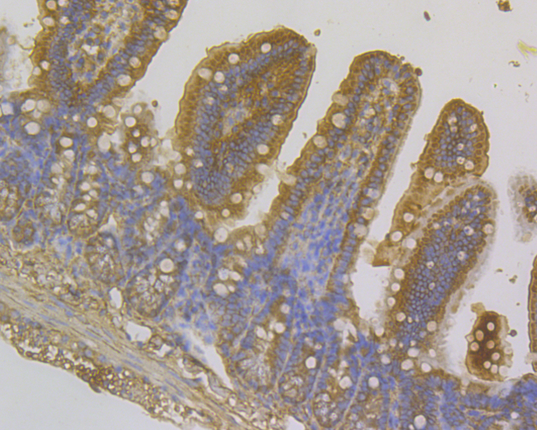 Immunohistochemical analysis of paraffin-embedded mouse small intestine tissue using anti-Methyltransferase-like 26 antibody. Counter stained with hematoxylin.