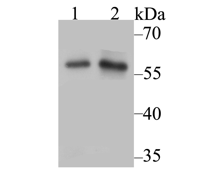 Western blot analysis of Nfic on different cell lysate using anti-Nfic antibody at 1/500 dilution.<br />   Positive control:<br />   Lane 1: A549<br />   Lane 2: SiHa