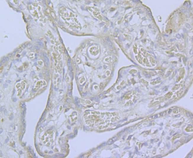 Immunohistochemical analysis of paraffin-embedded human placenta tissue using anti-CaV2.3 antibody. Counter stained with hematoxylin.