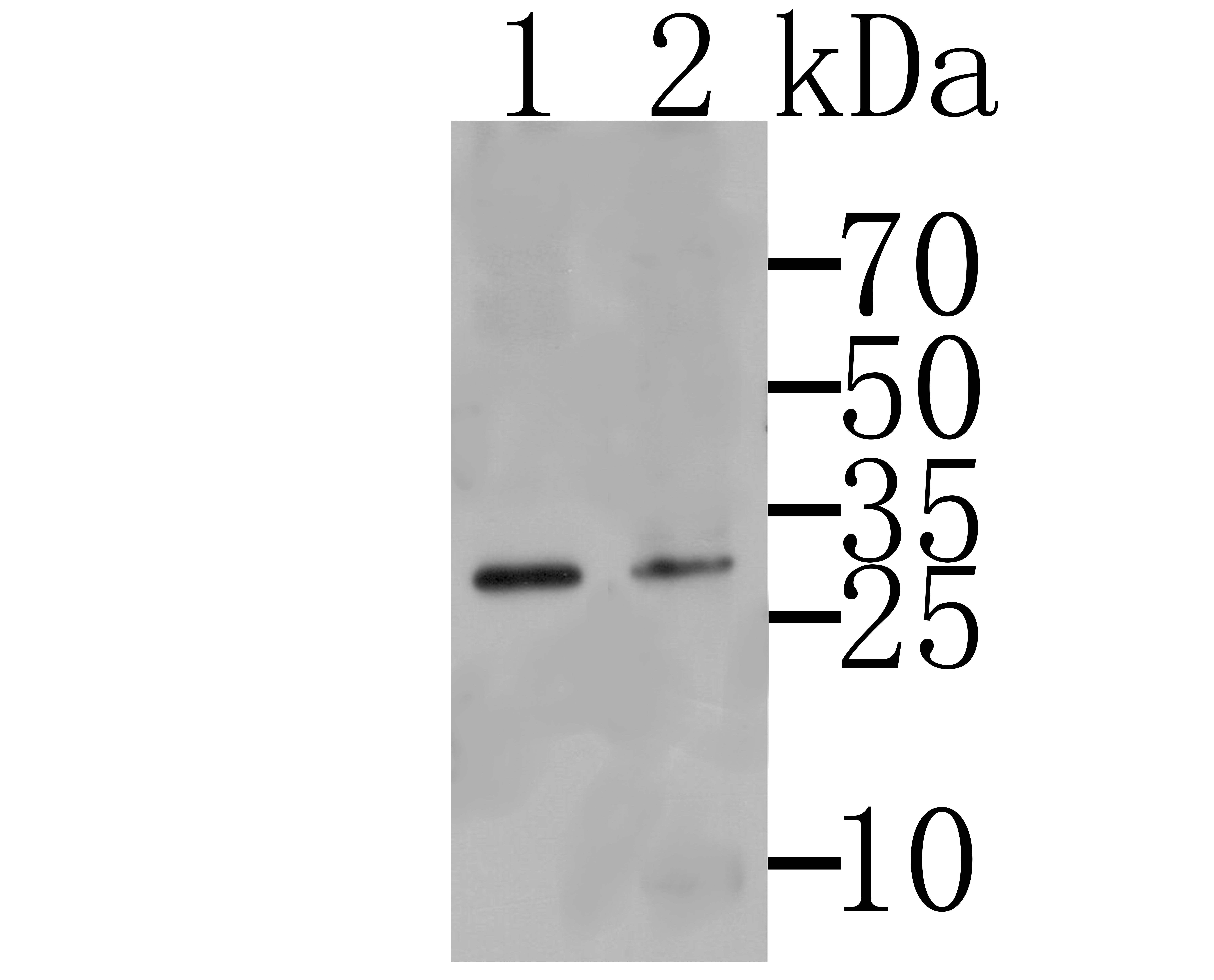 Western blot analysis of Tmem248 on SkBr3 (1) and K562 cells lysates using anti-Tmem248 antibody.