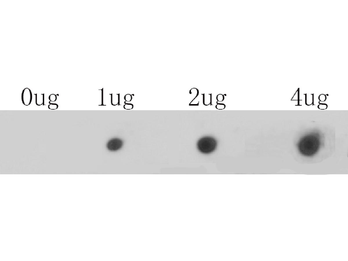 Dot blot analysis of anti-CACNA1C on PVDF. 1ug, 2ug and 4ug of immunization peptides were given in this test. Anti-CACNA1C antibody was diluted with 1/500.