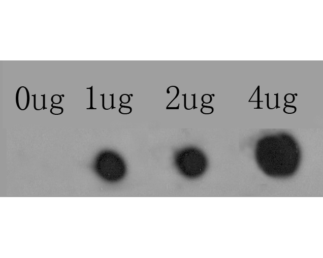 Dot blot analysis of anti-ITPR2 on PVDF. 0-4ug antigens were given in this test. Anti-ITPR2 antibody was diluted with 1/500.