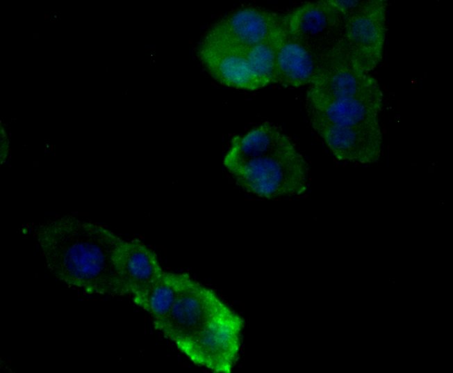 ICC staining Nephrin in PC-12 cells (green). Formalin fixed cells were permeabilized with 0.1% Triton X-100 in TBS for 10 minutes at room temperature and blocked with 1% Blocker BSA for 15 minutes at room temperature. Cells were probed with Nephrin polyclonal antibody at a dilution of 1:100 for at least 1 hour at room temperature, washed with PBS. Alexa Fluorc™ 488 Goat anti-Rabbit IgG was used as the secondary antibody at 1/100 dilution. The nuclear counter stain is DAPI (blue).