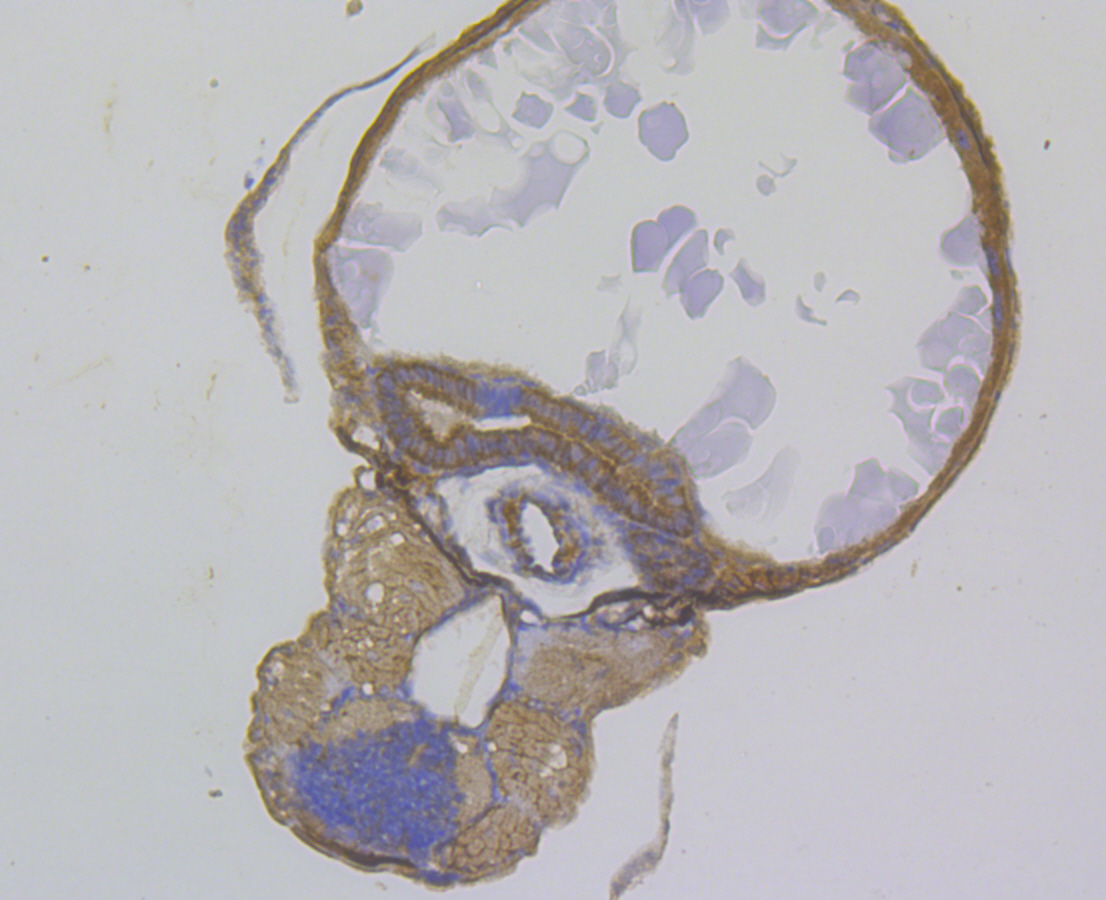 Immunohistochemical analysis of paraffin-embedded zebrafish tissue using anti-SeL1L antibody. The section was pre-treated using heat mediated antigen retrieval with Tris-EDTA buffer (pH 8.0-8.4) for 20 minutes. The tissues were blocked in 5% BSA for 30 minutes at room temperature, washed with ddH2O and PBS, and then probed with the antibody (ER1803-69) at 1/100 dilution, for 30 minutes at room temperature and detected using an HRP conjugated compact polymer system. DAB was used as the chrogen. Counter stained with hematoxylin and mounted with DPX.
