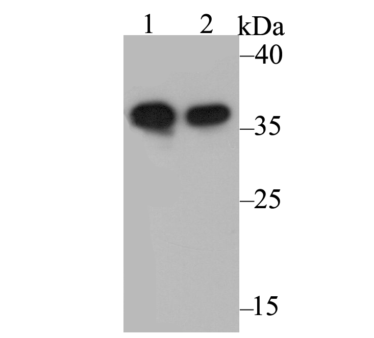 Western blot analysis of Annexin A1 on different lysates. Proteins were transferred to a PVDF membrane and blocked with 5% BSA in PBS for 1 hour at room temperature. The primary antibody was used at a 1:500 dilution in 5% BSA at room temperature for 2 hours. Goat Anti-Rabbit IgG - HRP Secondary Antibody (HA1001) at 1:5,000 dilution was used for 1 hour at room temperature.<br />  Positive control: <br />  Lane 1: A431 cell lysate<br />  Lane 2: Rat uterus tissue lysate