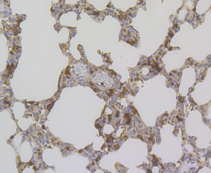 Immunohistochemical analysis of paraffin-embedded rat lung tissue using anti-Annexin A1 antibody. The section was pre-treated using heat mediated antigen retrieval with sodium citrate buffer (pH 6.0) for 20 minutes. The tissues were blocked in 5% BSA for 30 minutes at room temperature, washed with ddH2O and PBS, and then probed with the antibody (ER1803-70) at 1/200 dilution, for 30 minutes at room temperature and detected using an HRP conjugated compact polymer system. DAB was used as the chrogen. Counter stained with hematoxylin and mounted with DPX.