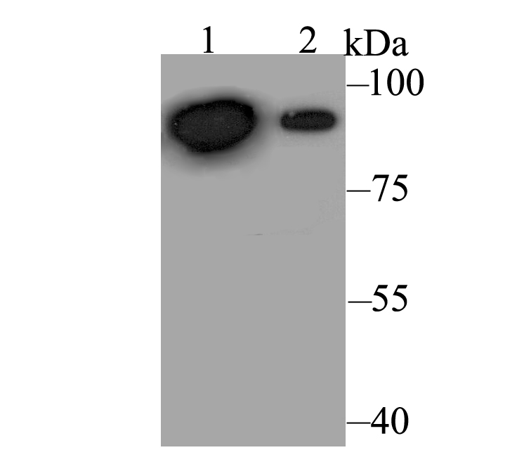Western blot analysis of Perforin on different lysates. Proteins were transferred to a PVDF membrane and blocked with 5% BSA in PBS for 1 hour at room temperature. The primary antibody was used at a 1:500 dilution in 5% BSA at room temperature for 2 hours. Goat Anti-Rabbit IgG - HRP Secondary Antibody (HA1001) at 1:5,000 dilution was used for 1 hour at room temperature.<br />  Positive control: <br />  Lane 1: HepG2 cell lysate<br />  Lane 2: Daudi cell lysate